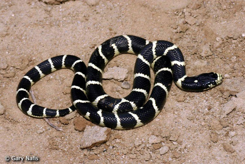 Auteur : Gary Nafis ... source : http://www.californiaherps.com/snakes/pages/l.californiae.html