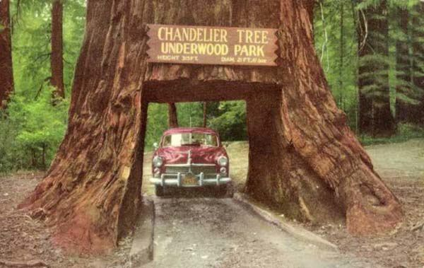Chandelier Tree, &quot&#x3B;L'arbre Chandelier&quot&#x3B;, Drive-Trhu, Tree Park, Leggett Californie, USA