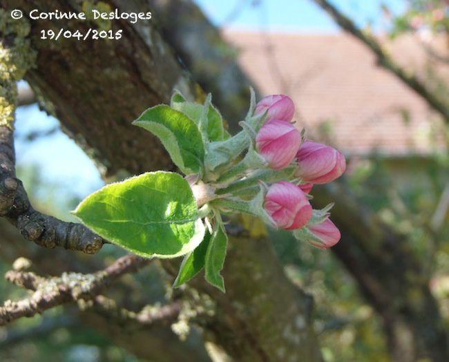les fleurs, pas encore écloses, du pommier