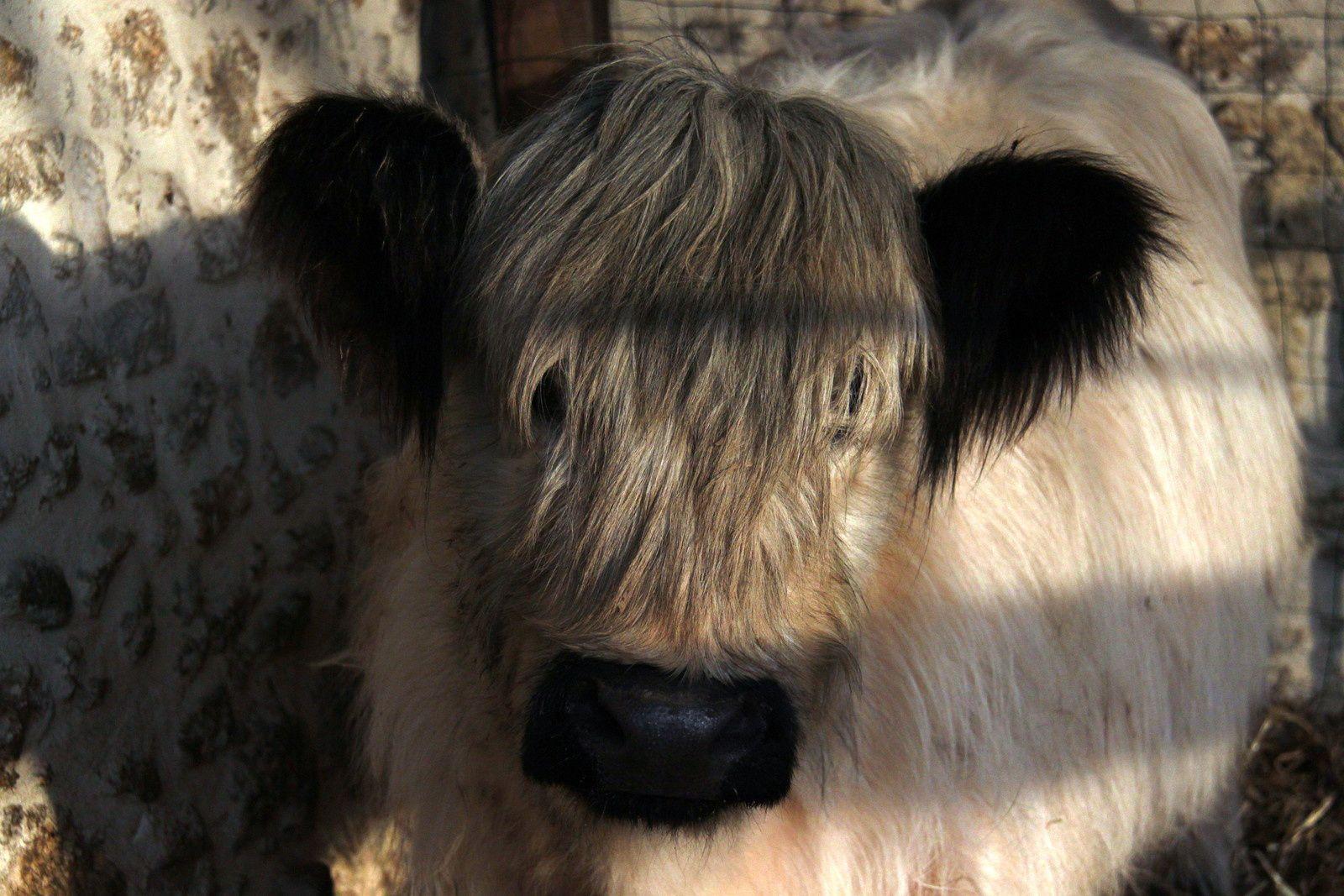 une vache de race ga....lloway,matinée highland