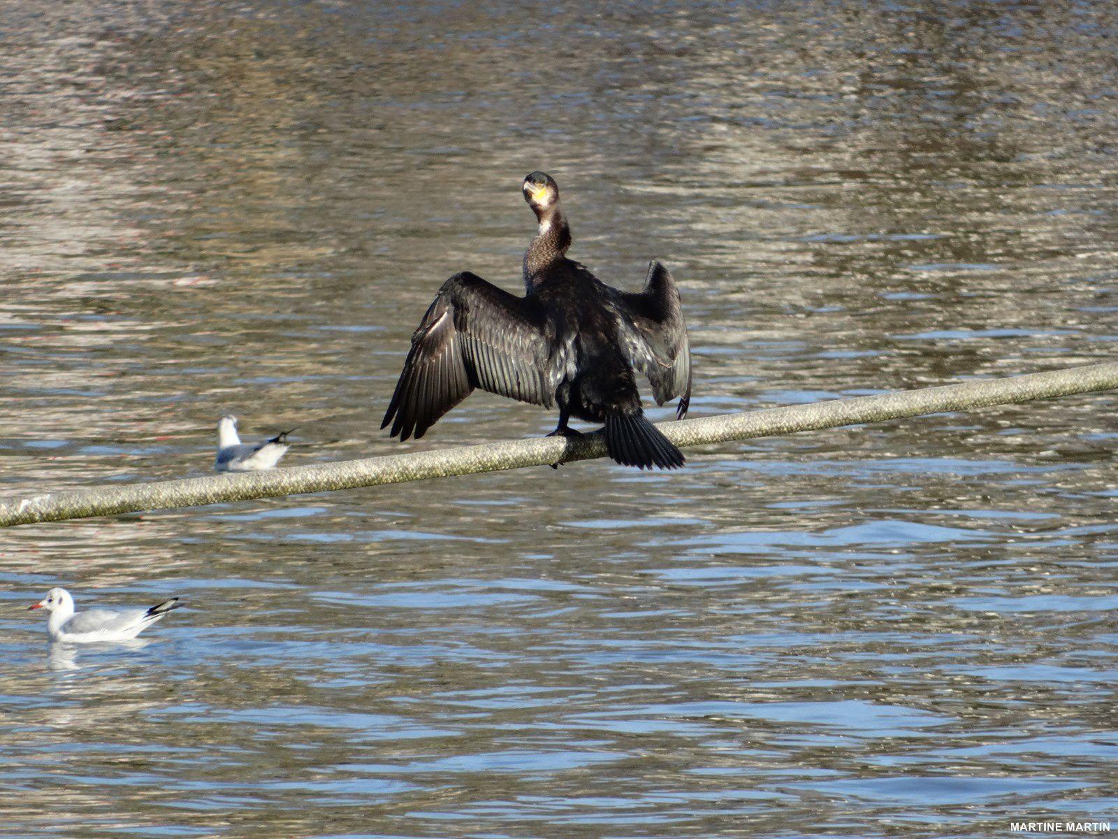 Cormorans sur l'Oise à Pontoise