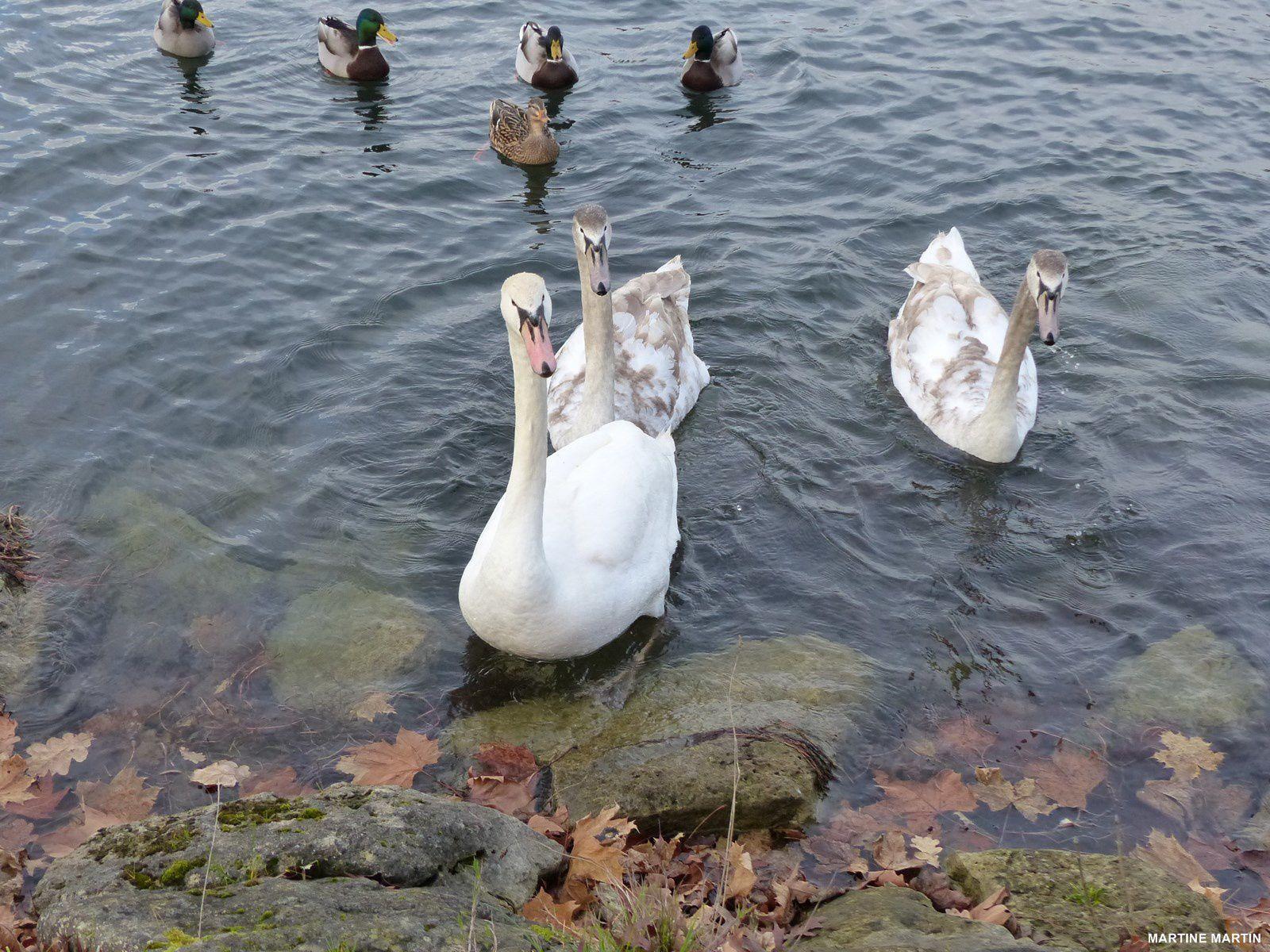 Oiseaux des étangs de Cergy