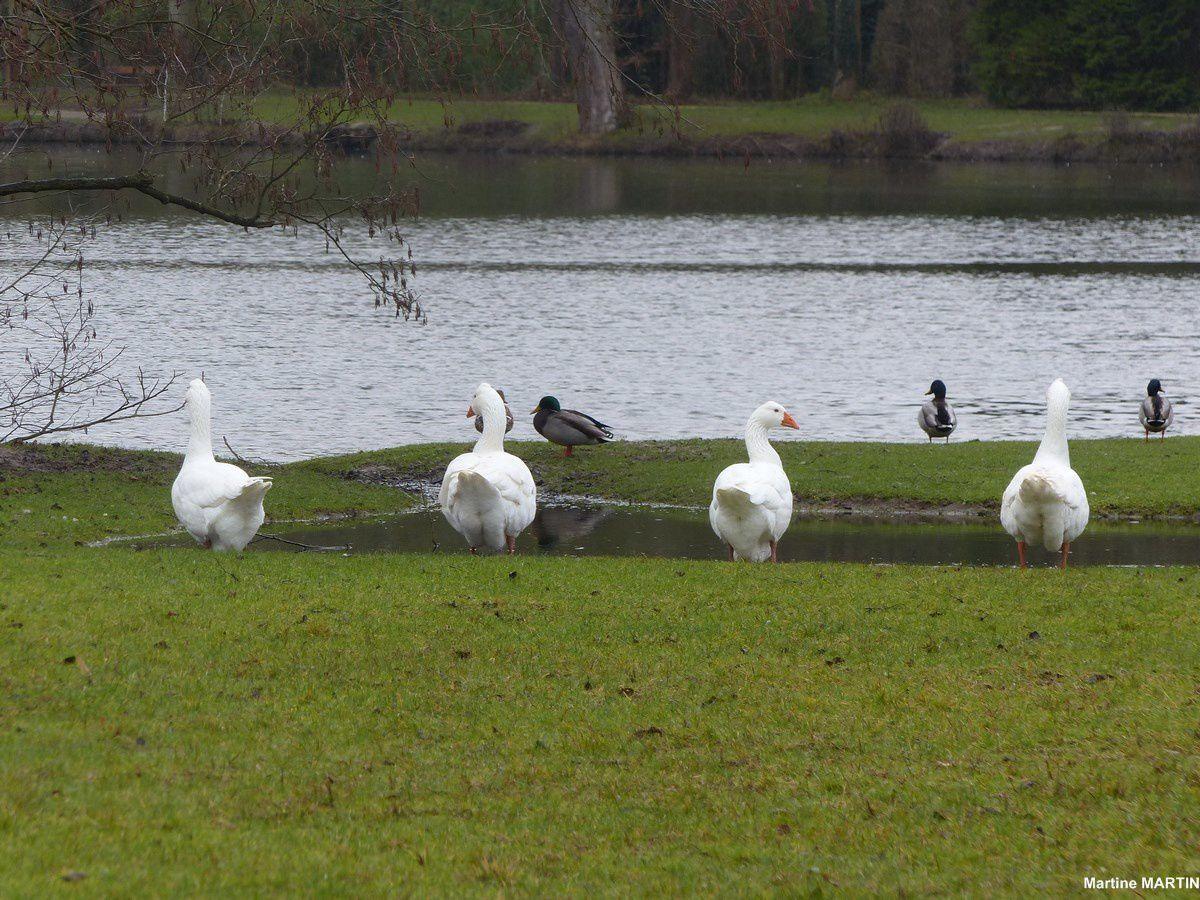 Les oies du Parc de Grouchy à Osny