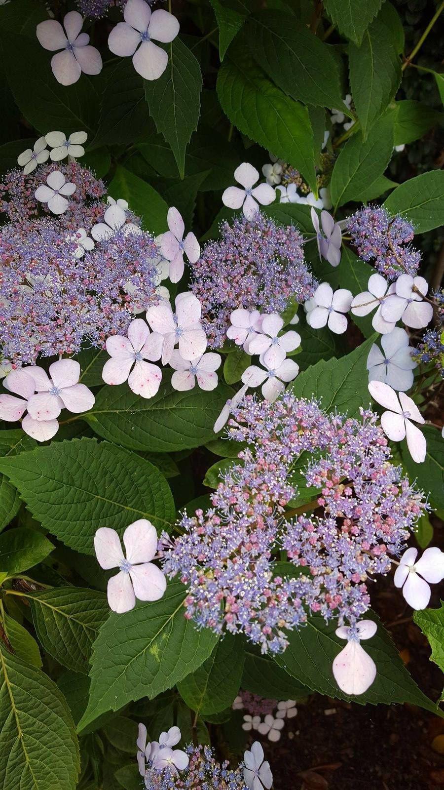hortensia en floraison