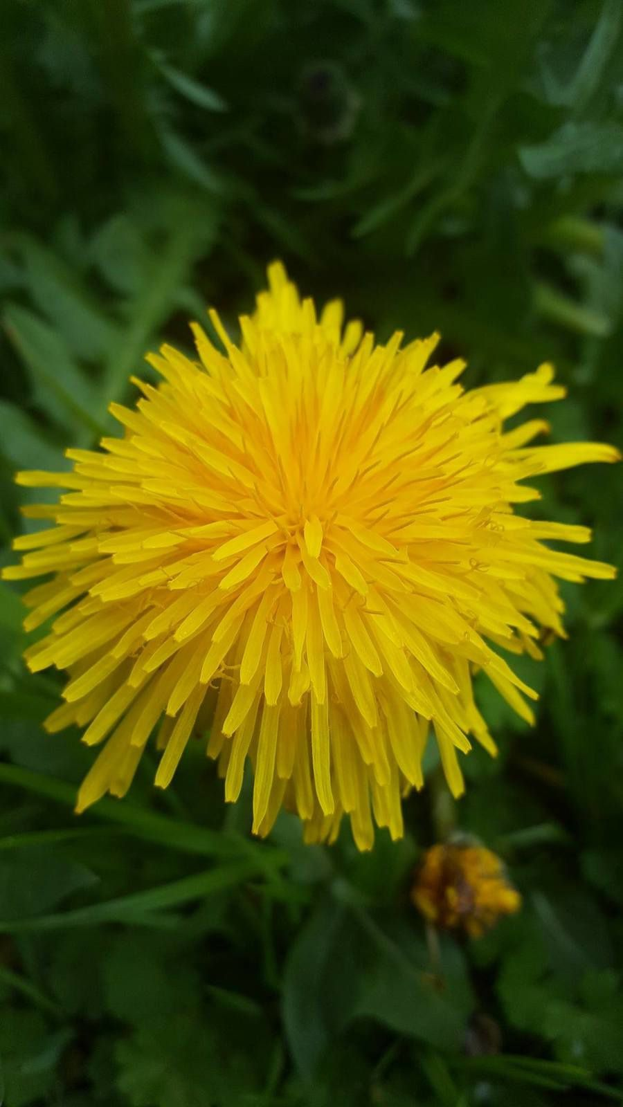 fleur comme un soleil