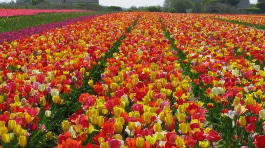 LES BULBES DE TULIPES EN HOLLANDE / CULTURE / TOURISME