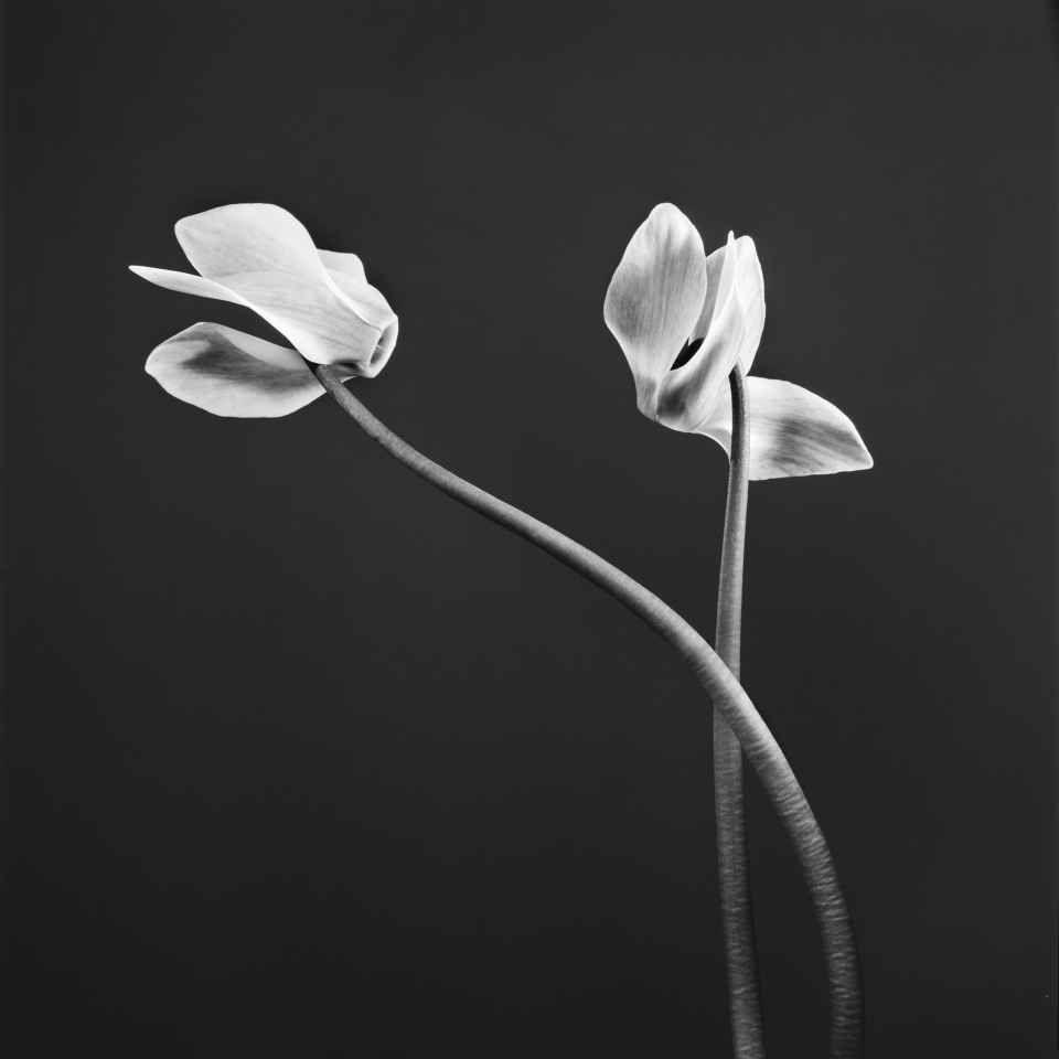 """Nature-Cyclamen"", 1998 de Jean Baptiste Huynh - Courtesy Galerie Lelong © Photo Éric Simon"