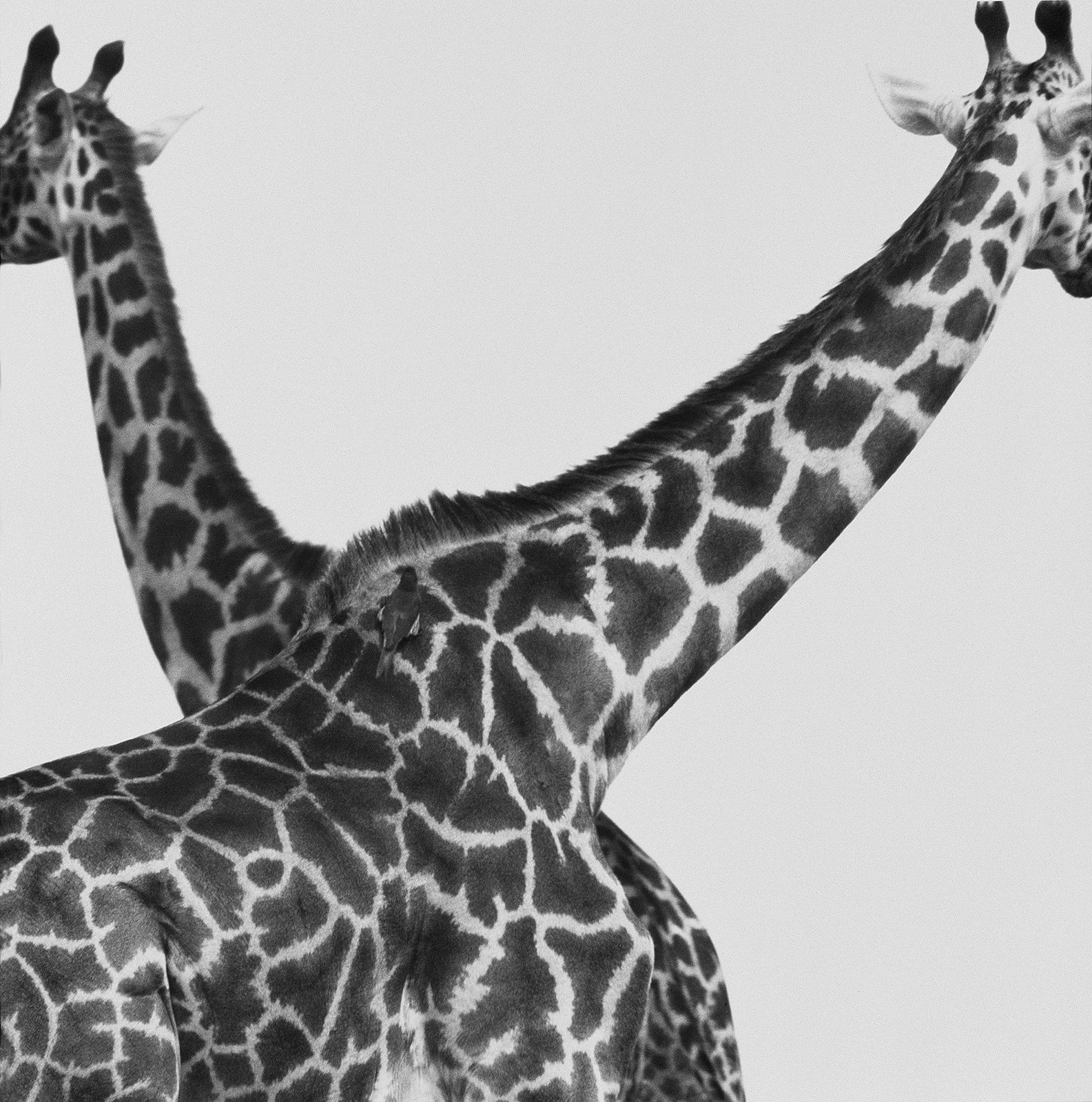 """Two Giraffes crossed"" de Herb RITTS  © Herb Ritts Foundation"
