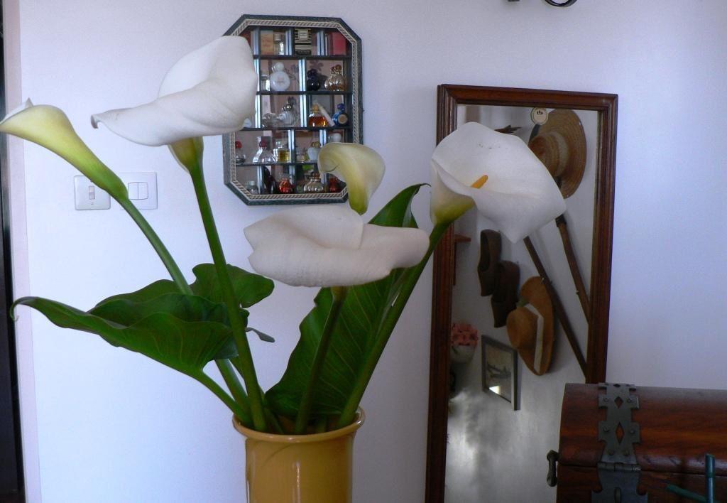 premières fleurs d'arum de chez ma copine Chantal-