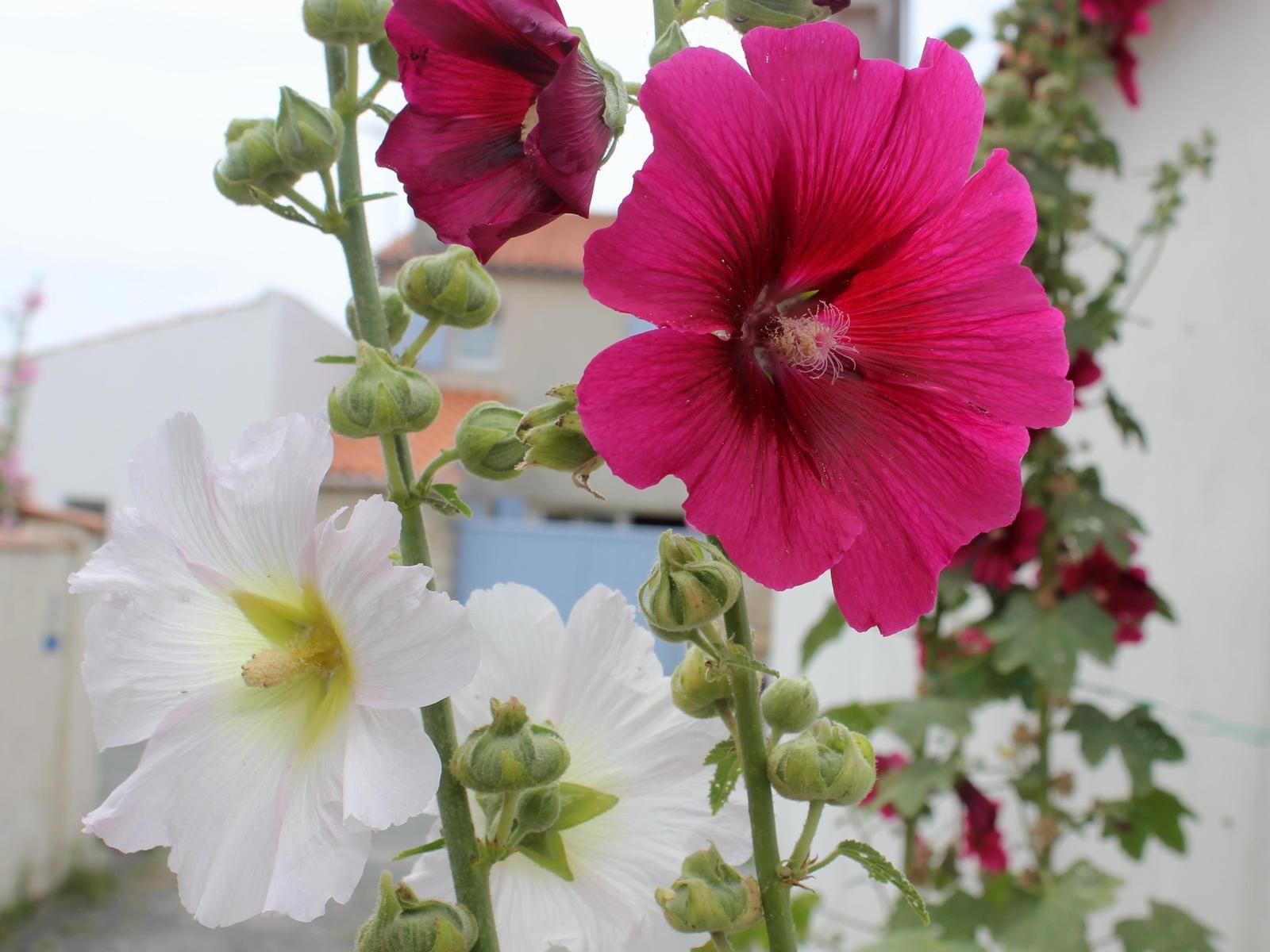 Roses trémières. Oléron. juillet 2015. Photos. Poème