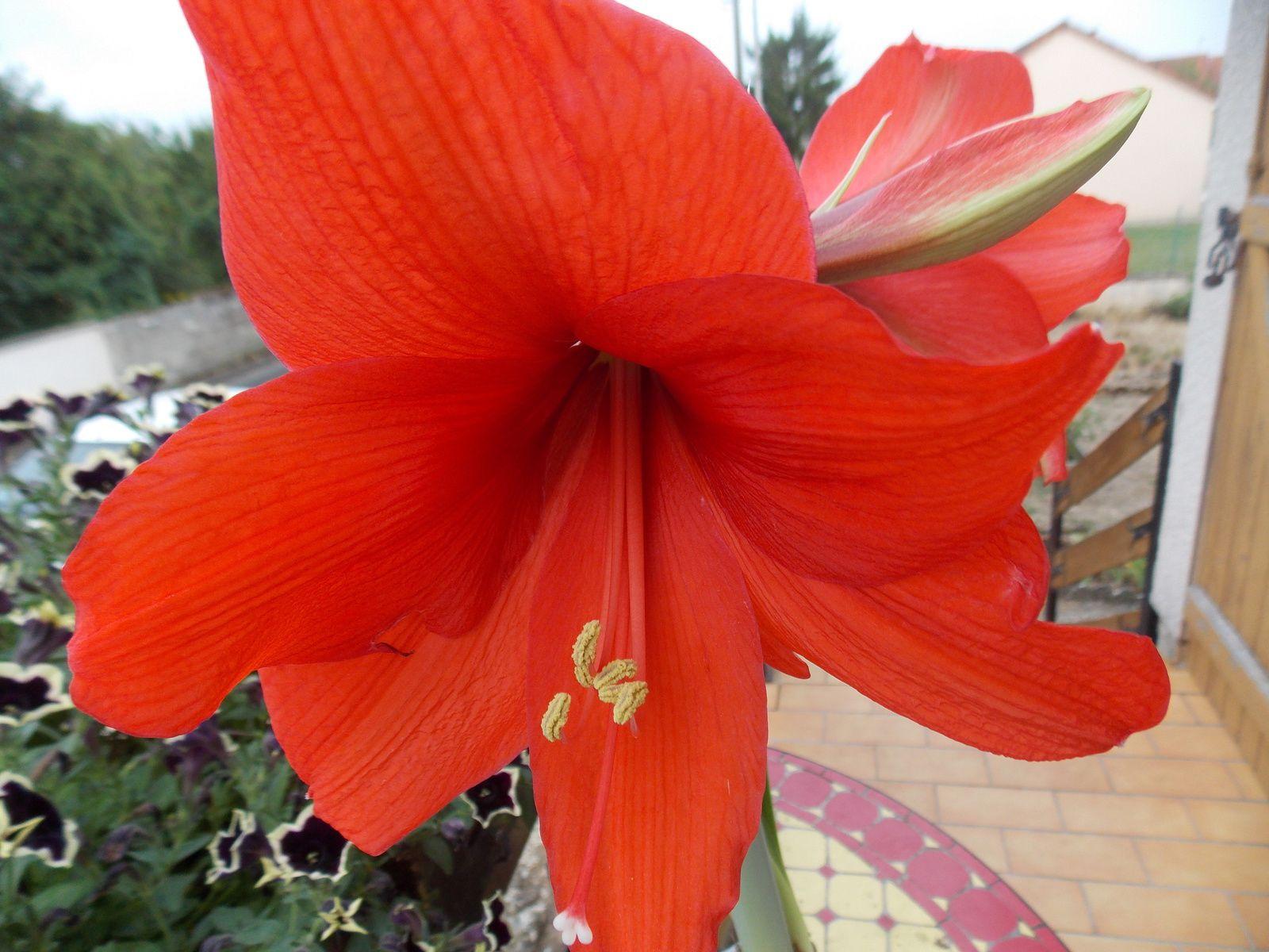 Amaryllis les couleurs de fils brod for Les amaryllis
