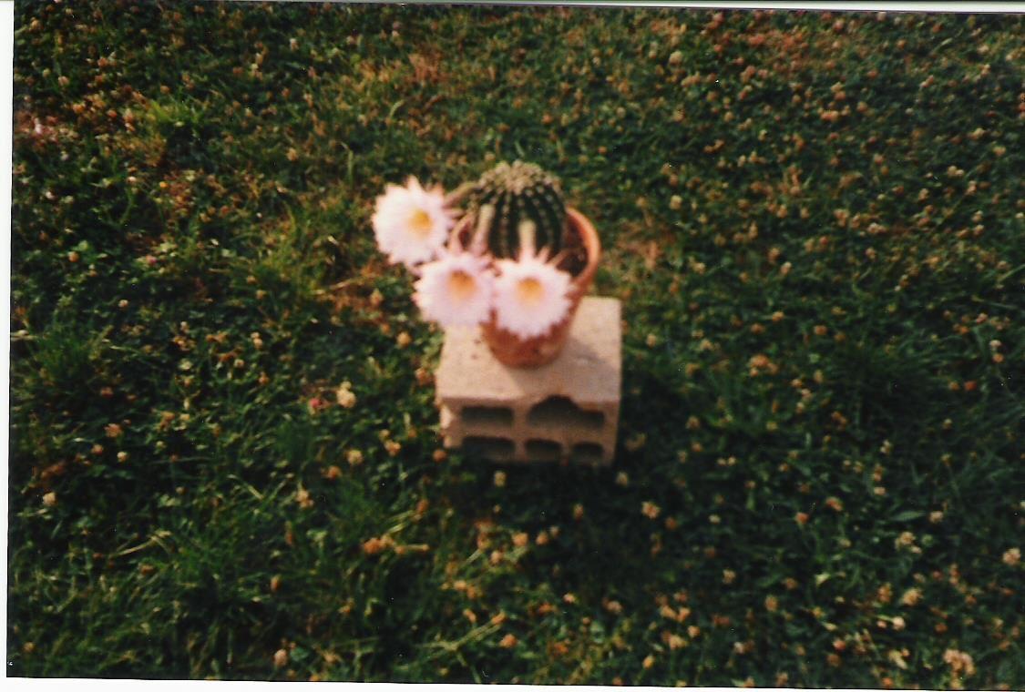 Il y a quelques années j' avais cette mère de famille qui fleurissait rose, ses fleurs s' ouvraient la nuit et ne restaient fleuries qu' une journée.