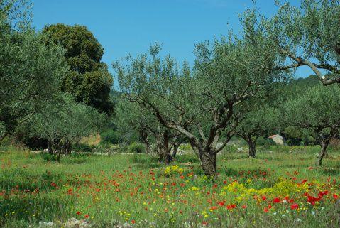 Quel est votre arbre ? L'olivier