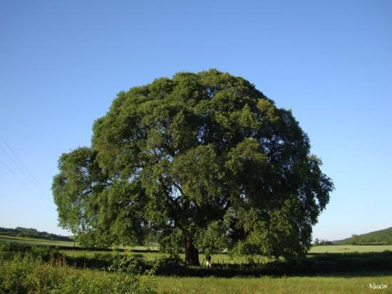 Quel est votre arbre ? L' orme