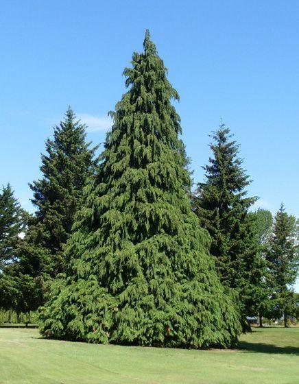 Quel est votre arbre ? Le sapin