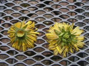 Gelée de fleurs de pissenlit ou cramaillotte