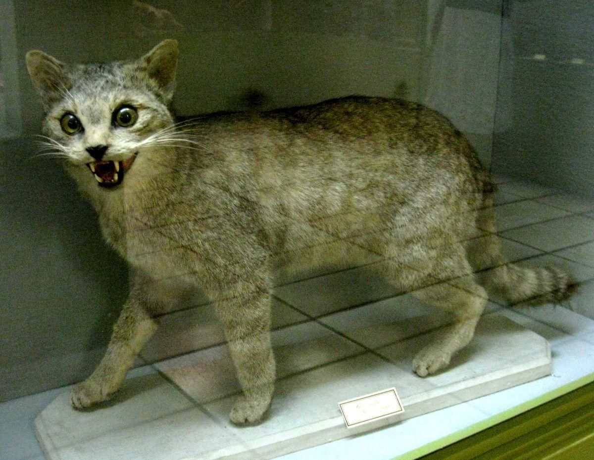 Le chat sauvage, musée Pierre Gassendi