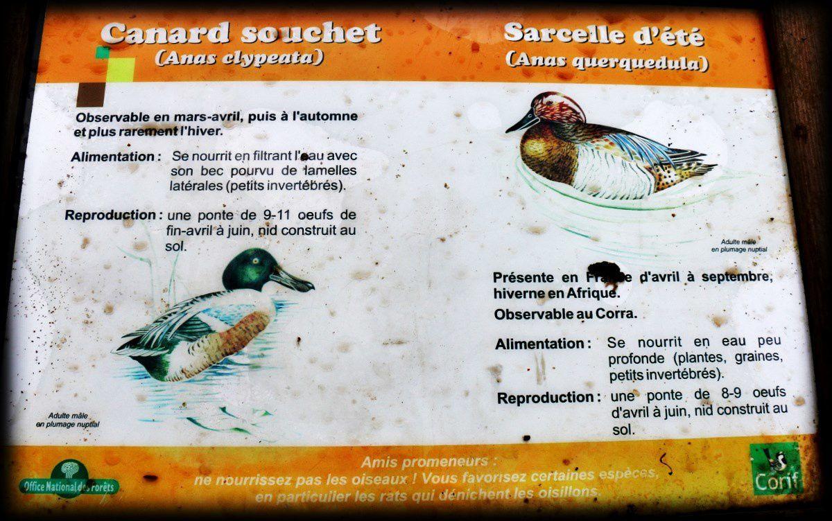 Oiseaux de l'étang du Corra en mars 2015