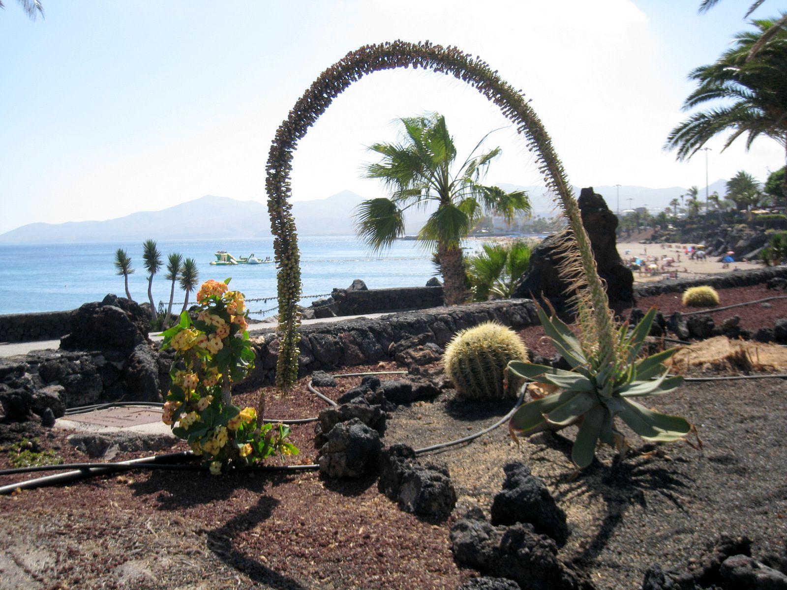 Cactus à Puerto del Carmen, île de Lanzarote