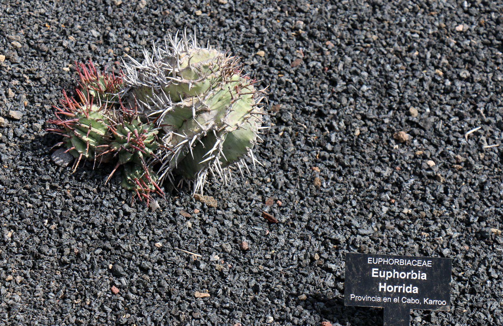 Euphorbia Horrida, Pachypodium Lamerei, Jardin de Cactus