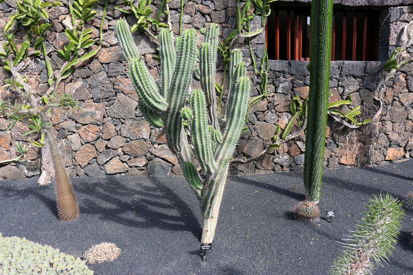 Polaskia Chichipe, Alluandia Procera, Jardin de Cactus