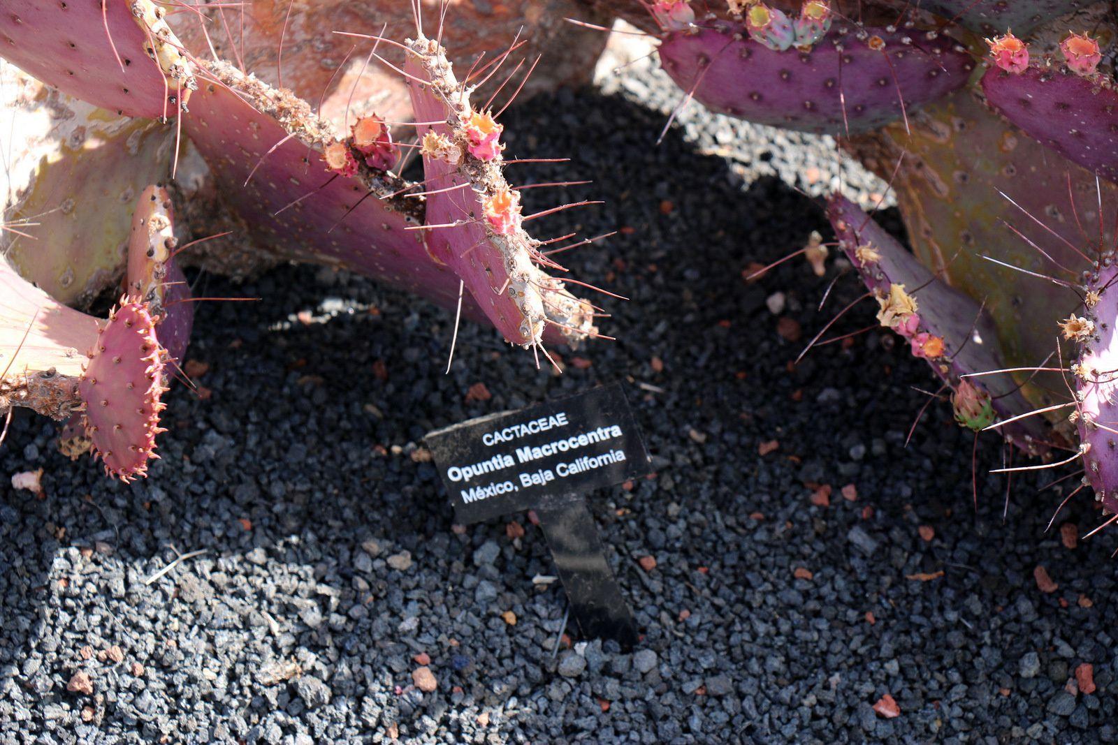 Opuntia Tunicata et Opuntia Macrocentra, jardin de cactus de Lanzarote