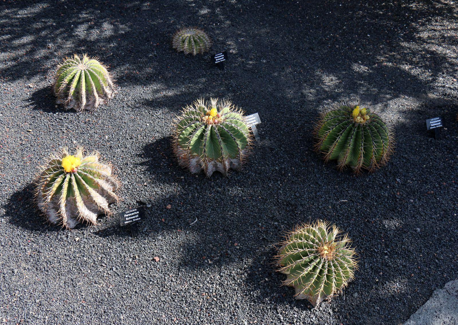 Ferocactus Schwarzii, jardin de cactus de Lanzarote