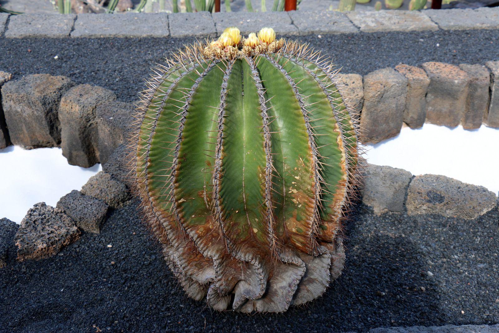 Echinocactus grusonii jardin de cactus le blog de cbx41 for Jardineras de cactus