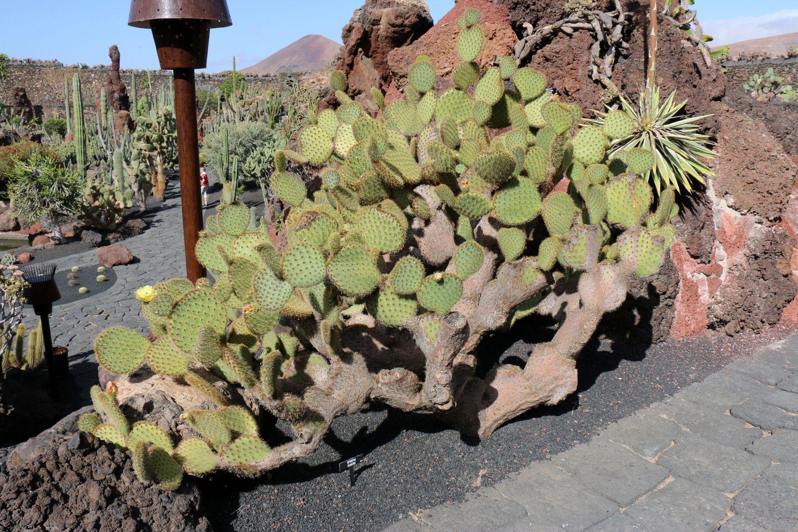 Opuntia Scherii, jardin de cactus (Lanzarote, Canaries)