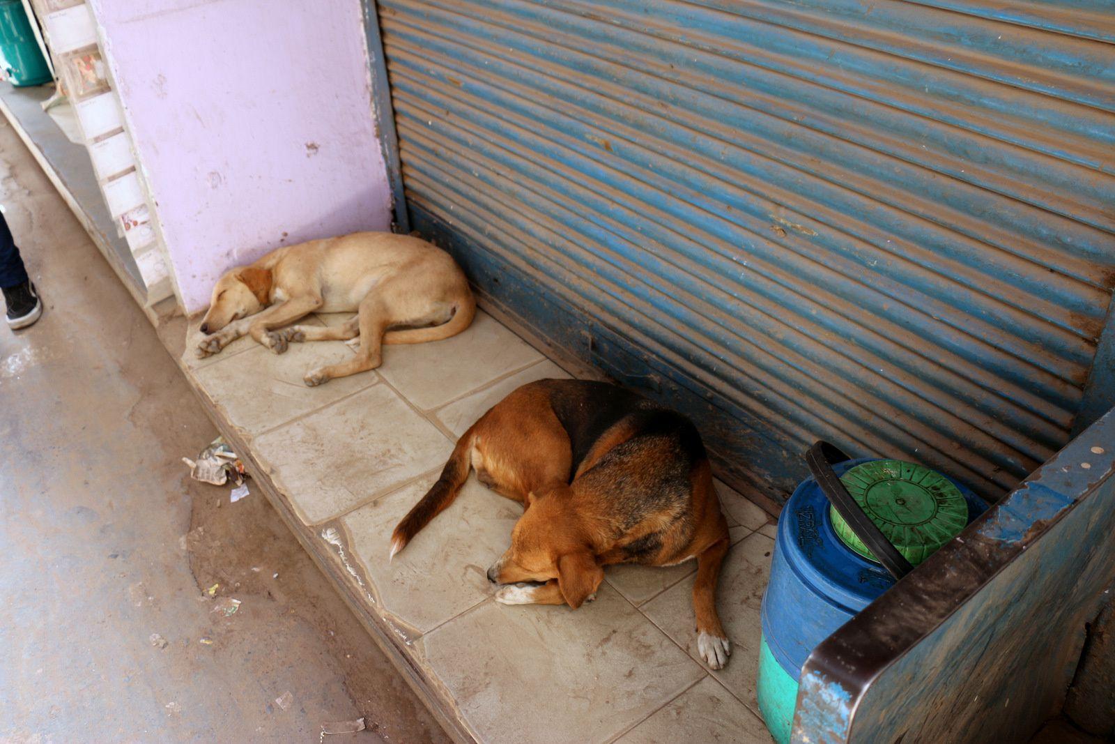 Singes et autres animaux dans les rues de Delhi