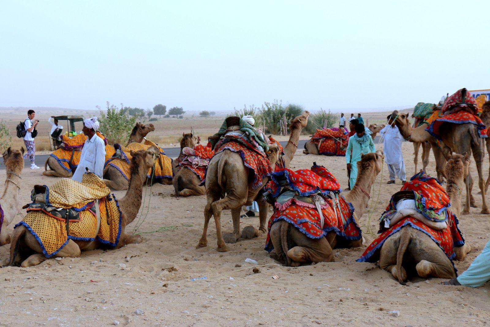 Chameaux du désert du Thar, Inde
