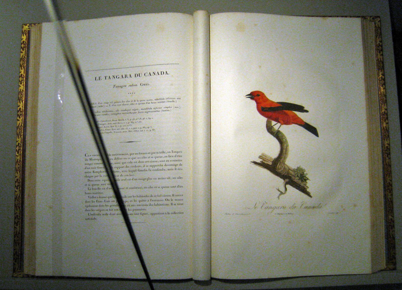 Tangara du Canada (Louis Pierre Vieillot) et Veuve dominicaine