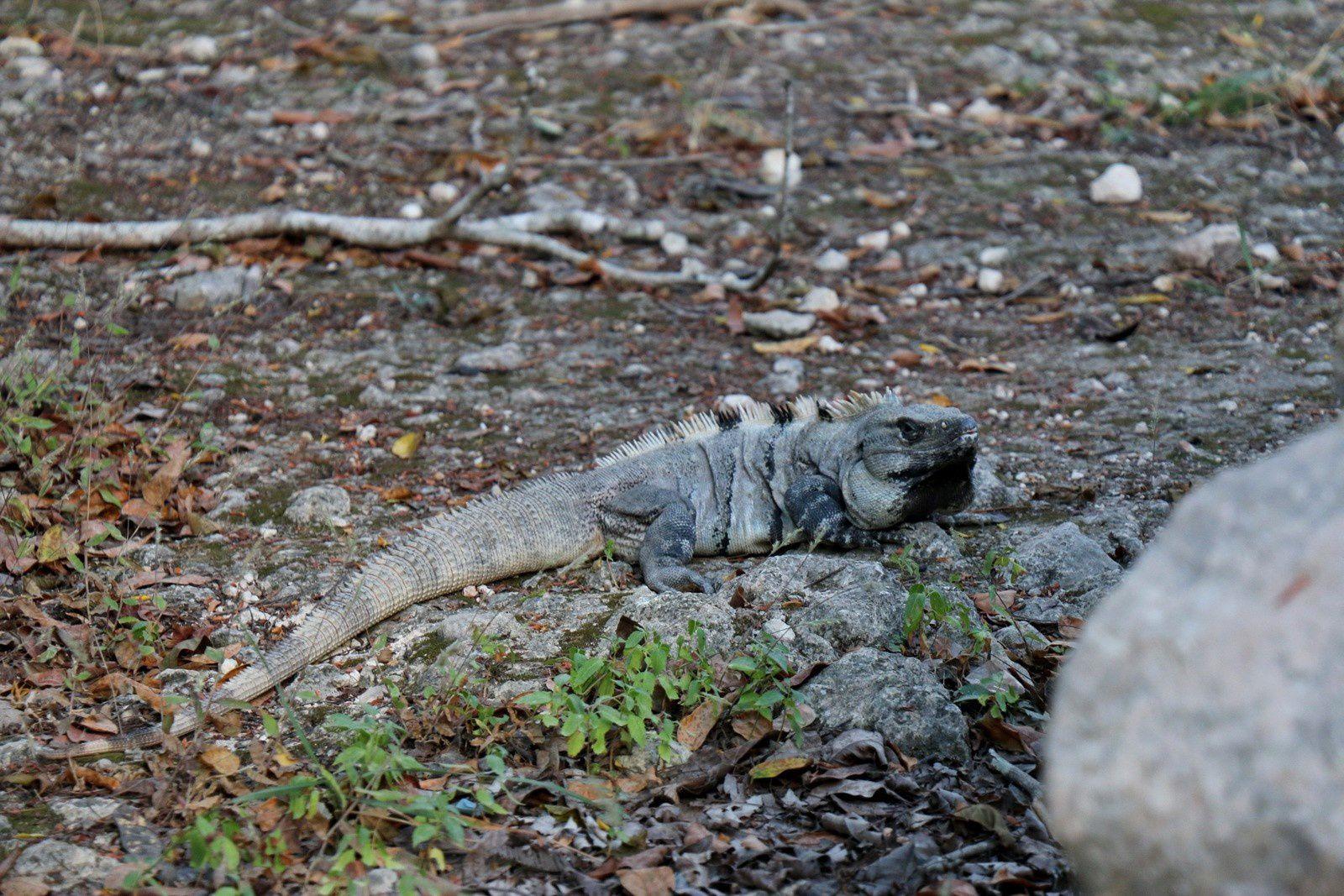 Les iguanes de Chichen Itza (Mexique)