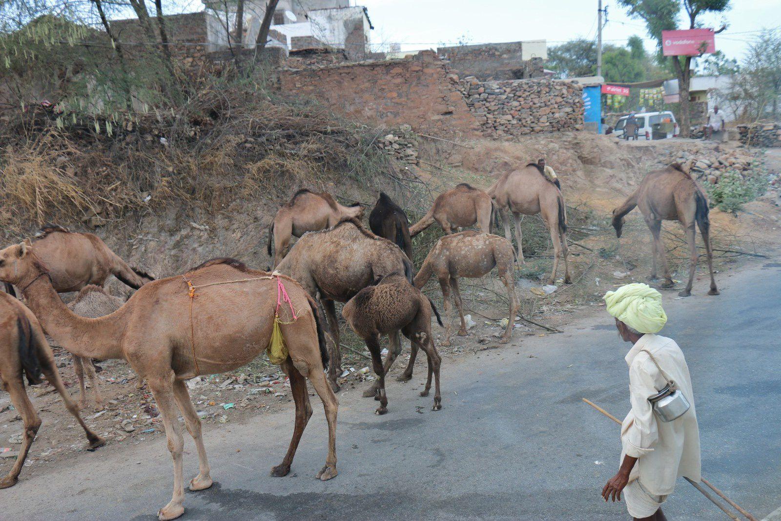 Dromadaires au Rajasthan (Inde)