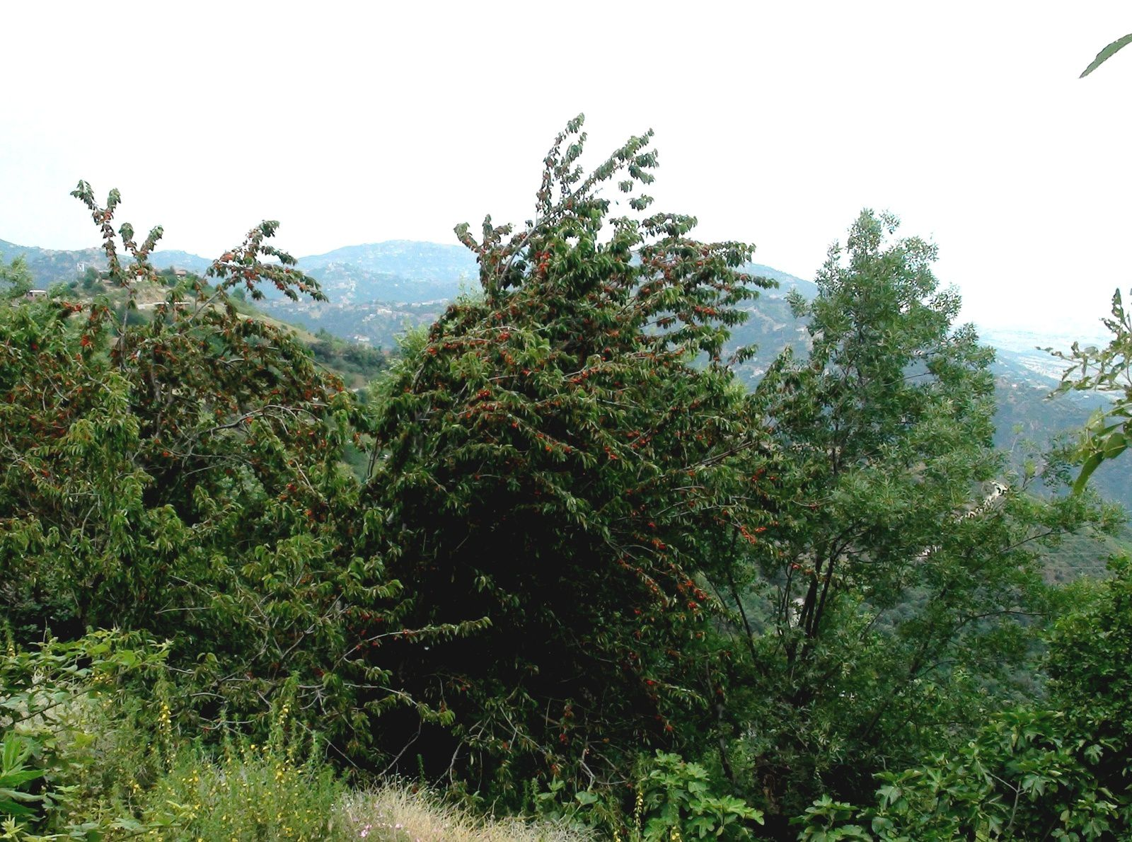 La cerise en Kabylie
