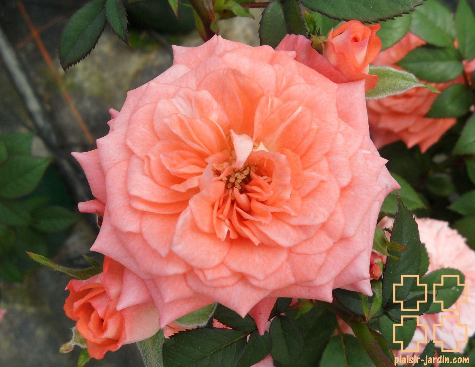 b7. Les rosiers miniatures (nains)