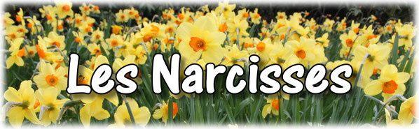 c2. Les narcisses