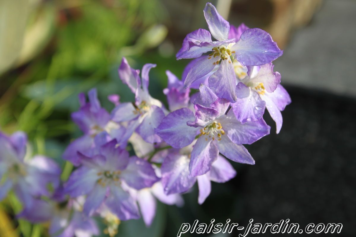 Delphinium consolida 'frosted skies'