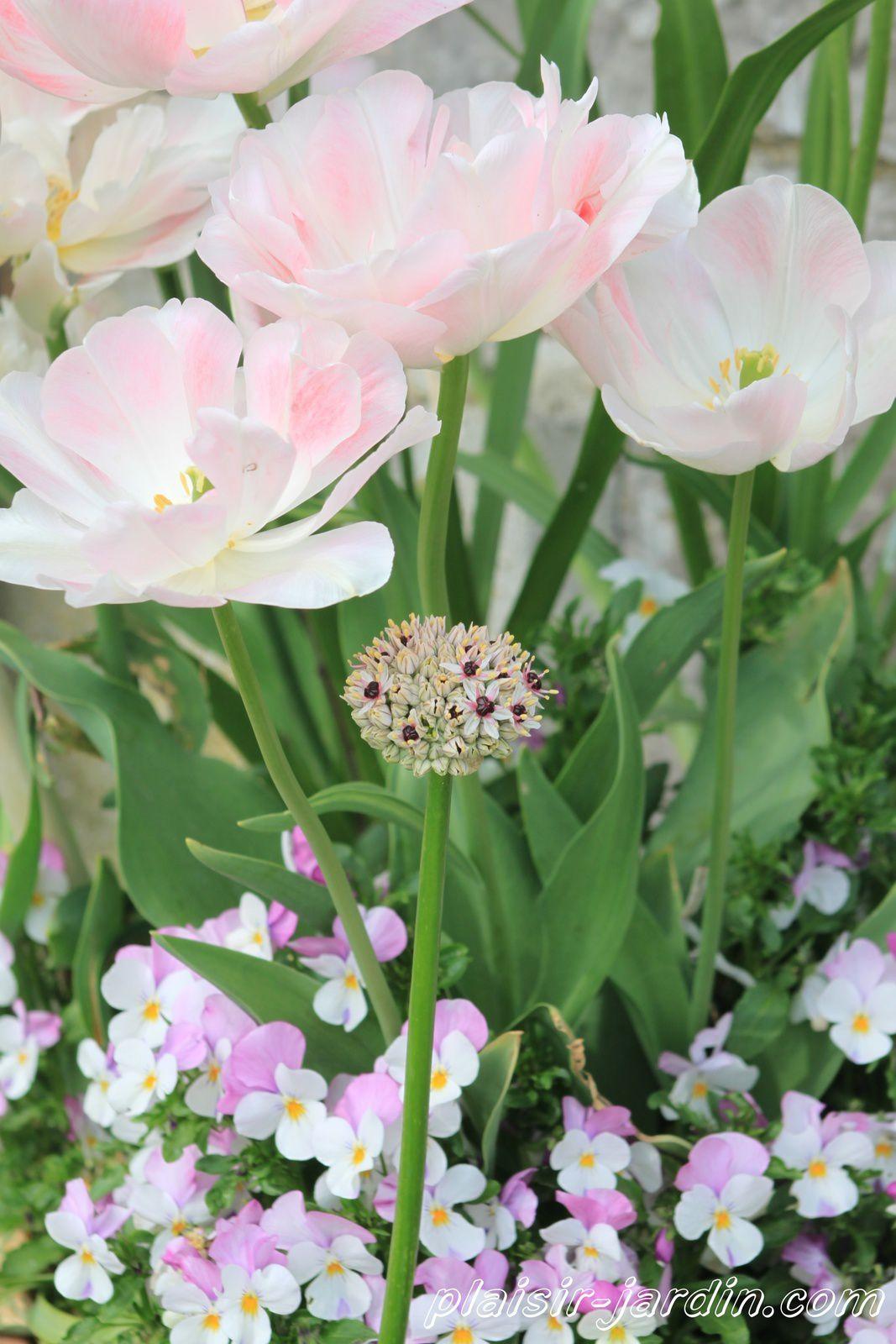 Allium multibulbosum 'Silver Spring'