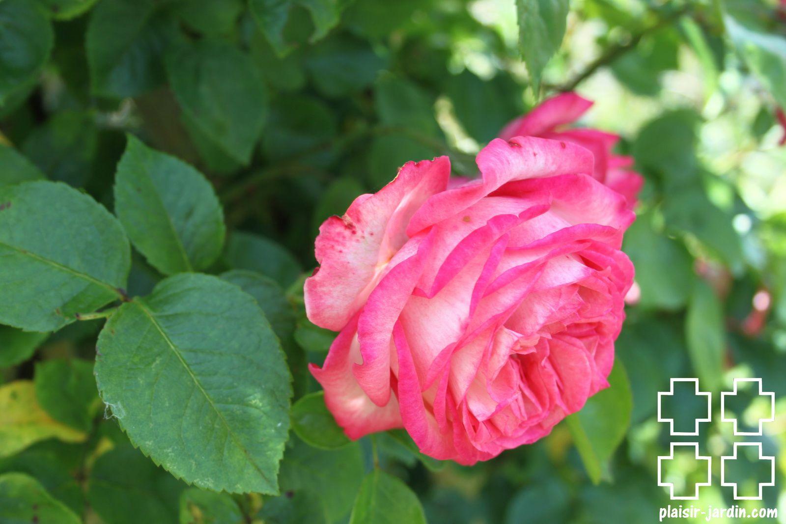 b9. Les rosiers en A. de Am. à An.