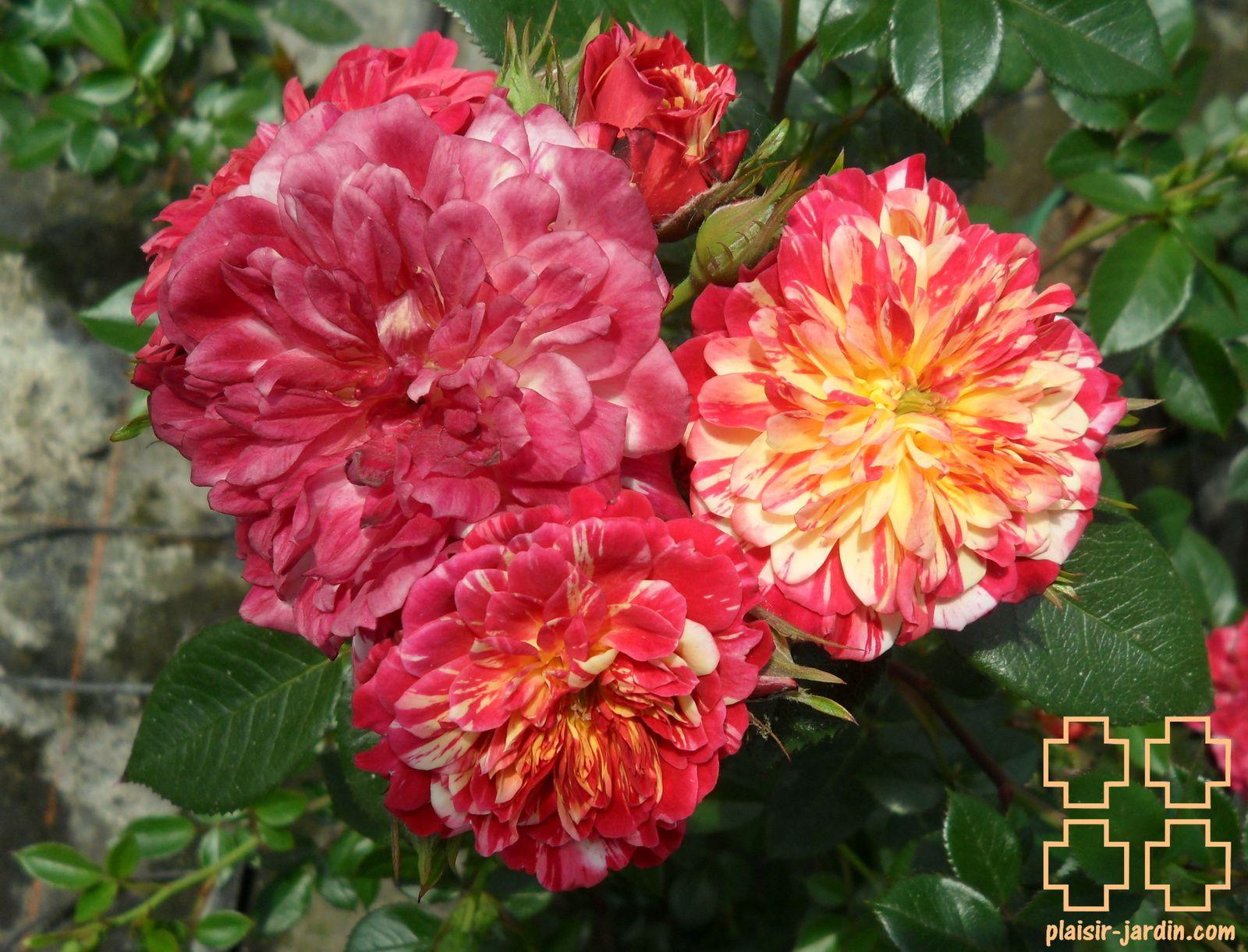 b9. Les rosiers en B. de Be à Bi.