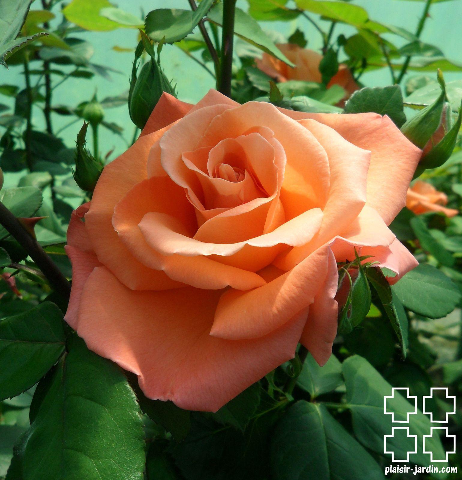 Les rosiers en Chi. à Cho.