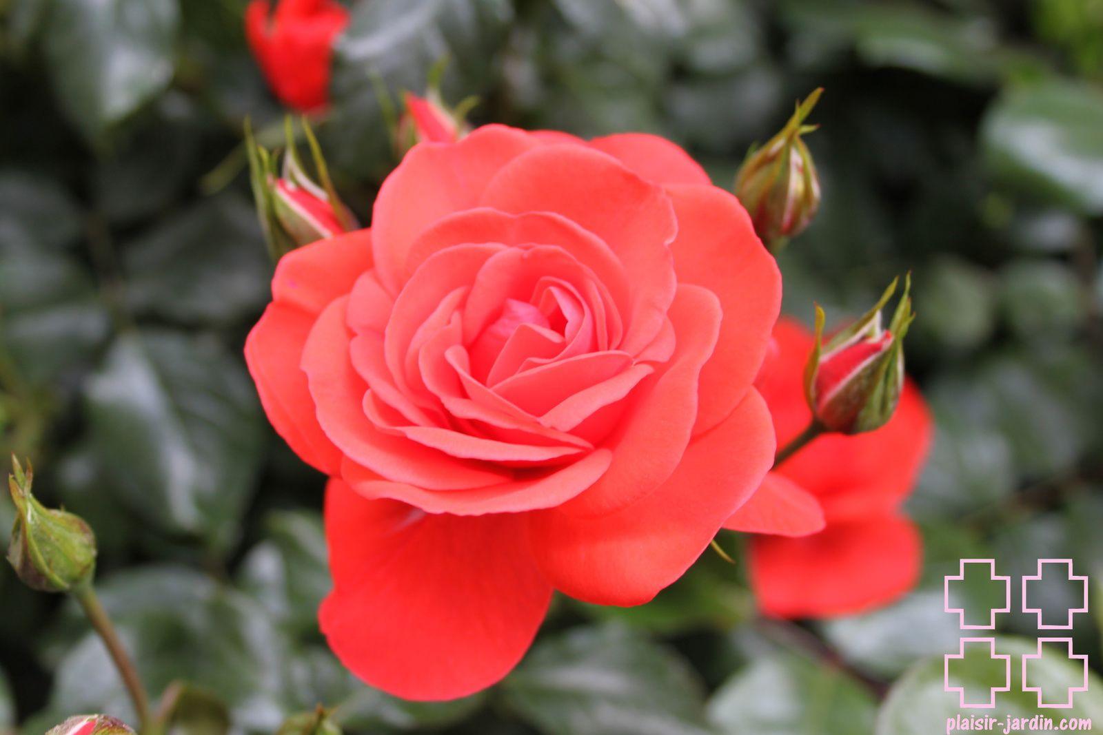 b9. Les rosiers en Ca.