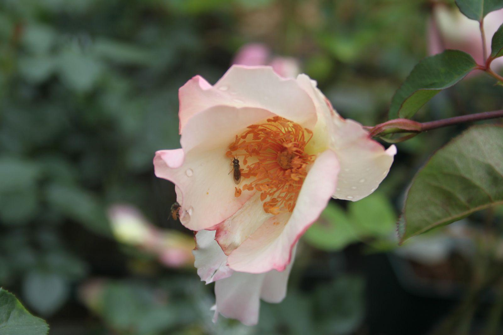 Portes ouvertes de Daniel Schmitz 2014: c'est quoi une rose ?