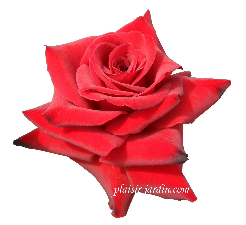 b9. Les rosiers en N. de Ni à Ny