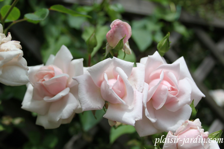 b9. Les rosiers en N. de Na à Ne