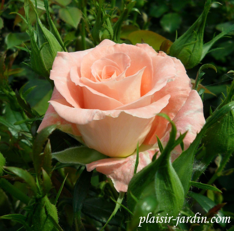 b9. Les rosiers en Rh à Ros.