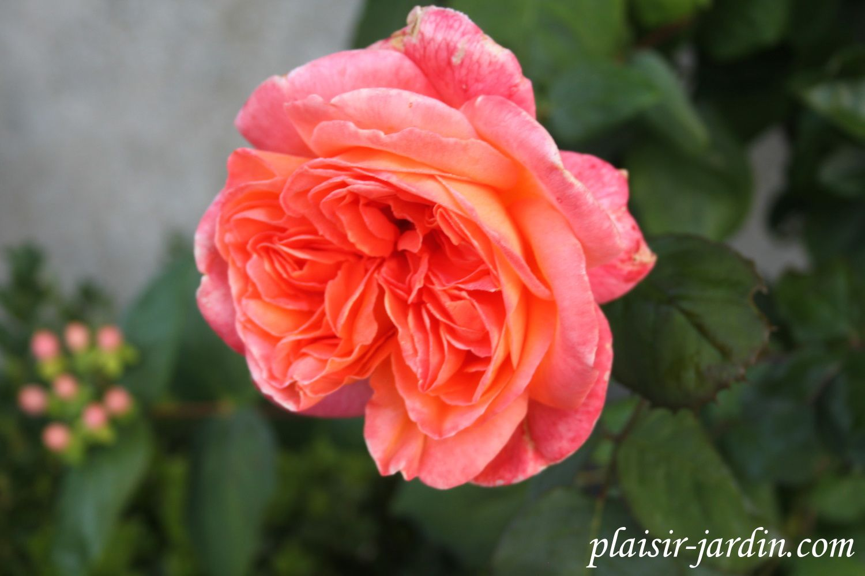 b9. les rosiers en re. - plaisir-jardin