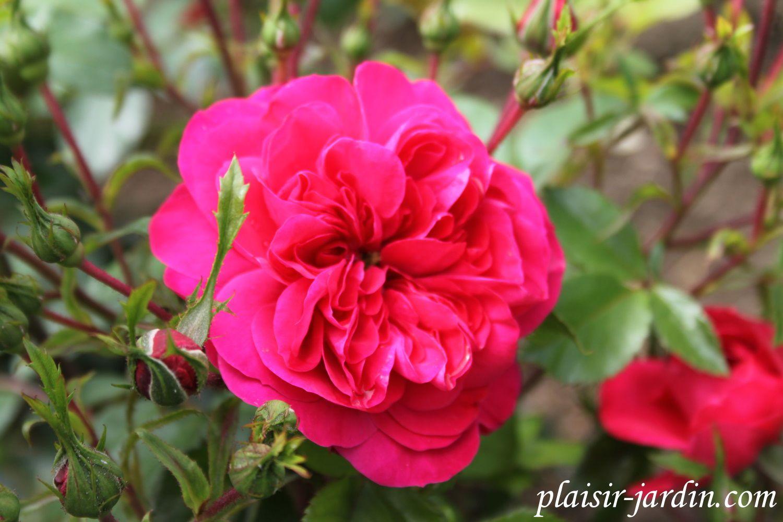b9. Les rosiers en S. de Sa. à Sh.