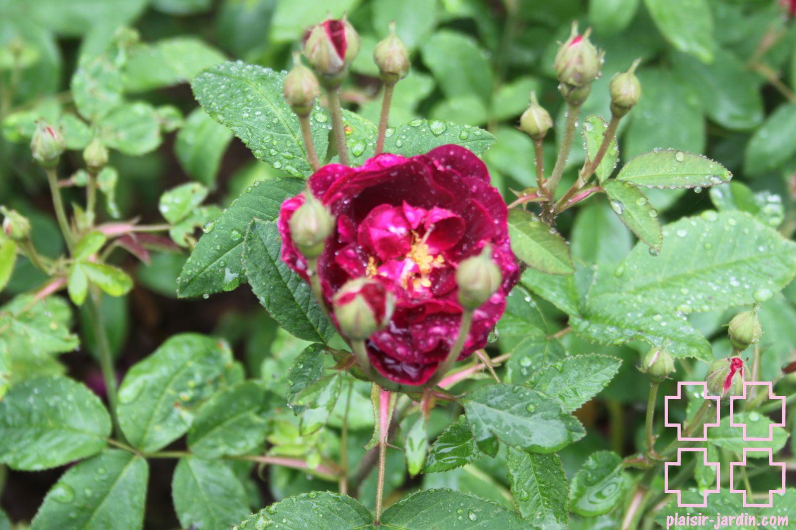 b9. Les rosiers en T. de Ti. à U